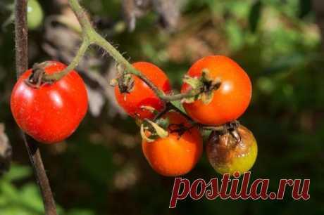 Фитофтора на помидорах в теплице: как бороться? При выращивании помидоров в теплице не всегда удается защитить их от фитофторы. Этот недуг поражает сначала листики, а потом плоды. Если не бороться с заболеванием, то можно полностью потерять урожай....