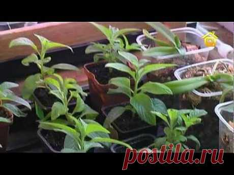 Уход за рассадой и зимнее черенкование | Дачное видео: первый интернет-канал о Даче и Доме