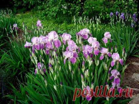 Ирисы после цветения: 7 полезных подсказок по уходу, чтобы растение порадовало в следующем году Ирисы радуют цветоводов непрерывным цветением с мая по июль в том случае, если подобрать сорта с разными сроками роспуска бутонов. Цветочные почки на растении закладываются вскоре после того, как соцветия текущего года завянут.