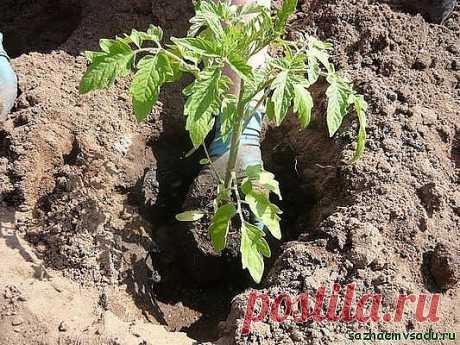 Рассаду помидоров поливают раствором йода для более быстрого роста (1 капля на три литра). После применения этого раствора рассада зацветёт быстрее, а плоды будут крупнее. Может йод защитить помидоры и от фитофторы. Для этого Вам понадобятся несколько капель йода и 250 грамм молока, смешайте их с 1 литром воды.  Раствор - одна капля йода на три литра воды, этим йодным раствором надо один раз полить рассаду томатов. От этого увеличиться продуктивность и будут побольше плоды...
