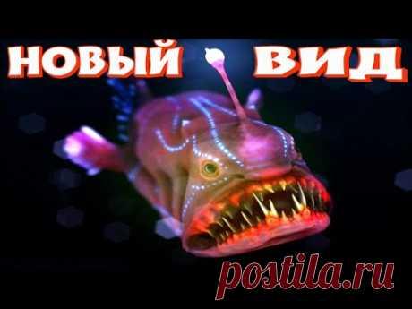 Удильщик Самые Опасные Морские Животные - YouTube