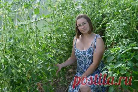 Как формирую томаты, когда кусты доросли до верха теплицы. Мой простой способ | Дачные секреты от Виктории Радзевской | Яндекс Дзен