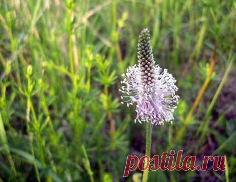 Псиллиум: как применять, где купить, польза и вред. Рецепты Псиллиум - уникальный продукт. Это шелуха из семян подорожника, обладающая многочисленными полезными свойствами. Купить псиллиум у нас непросто. Применение