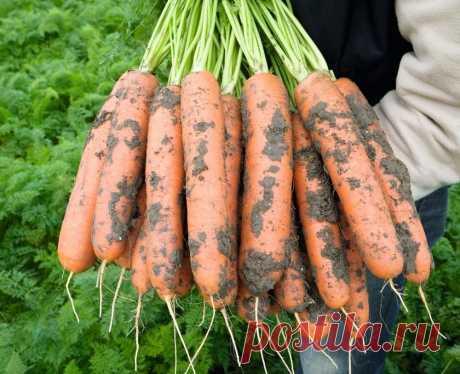 Выбираем морковь: урожайные сорта и гибриды для открытого грунта