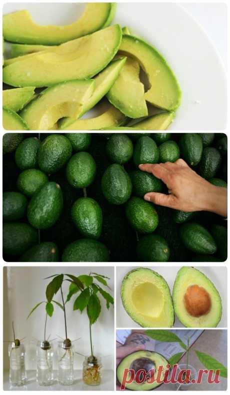 Хватит тратить деньги на авокадо. Прочтите и купите его в последний раз. - My izumrud