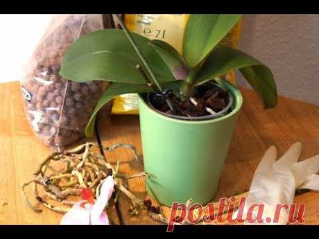 Councils beginners: CHANGE and FALENOPSIS'S REJUVENATION. Step-by-step instruction. An orchid in 2 months