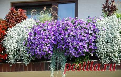 Ideas of compositions from flowers for balcony flower boxes \u000d\u000a\u000d\u000aThe boxes which are buried in flowers — magnificent decoration of balconies and terraces.\u000d\u000aIf balcony flower boxes narrow and the volume of the earth in them is small, plant plants in one row.\u000d\u000aVery beautifully look in boxes quickly rast …