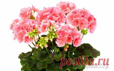 Secrets of fertilizers for magnificent blossoming of geraniums in house conditions