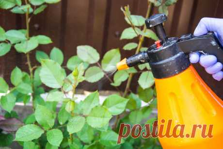 Чтобы розы цвели все лето, воспользуйтесь касторовым маслом
