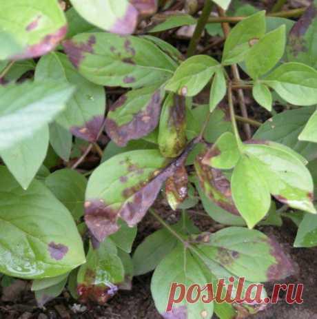 Причины, почему краснеют листья пиона. Как помочь растению?