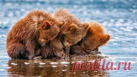 «Три бурых медвеженка.» — карточка пользователя Татьяна Е. в Яндекс.Коллекциях