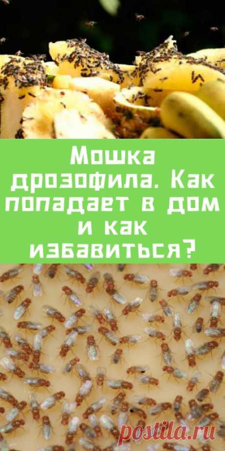 Мошка дрозофила. Как попадает в дом и как избавиться? - likemi.ru