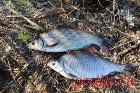 Плотва, она же сорожка: факты о необычной рыбке