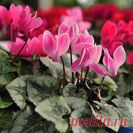 Усадьба   Цветы в доме : Цикламен в вопросах и ответах
