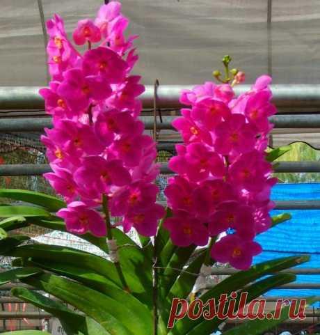 Orchid askotsentrum