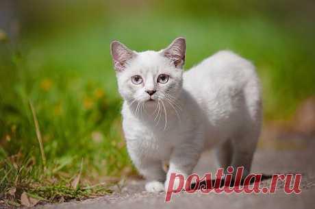 Удивительная в природе порода кошек «Мачкин» появилась на свет из-за природных мутаций.  Бешеную популярность «Мачкины» приобрели в Японии в начале 90-х.