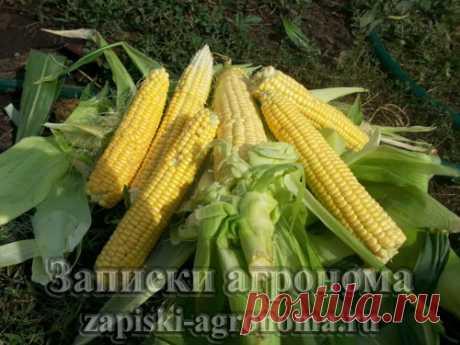 Как вырастить кукурузу в открытом грунте • zapiski-agronoma.ru