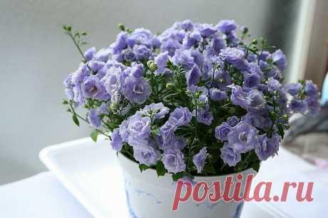 Её ценят за неприхотливость в уходе, за яркий окрас цветков, за то, то наполняет дом счастьем | Все о домашних цветах | Яндекс Дзен