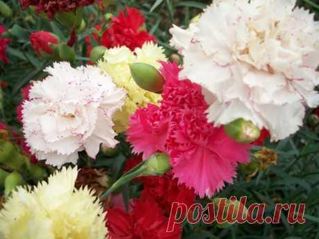 Садовая многолетняя гвоздика: выращивание,посадка,уход