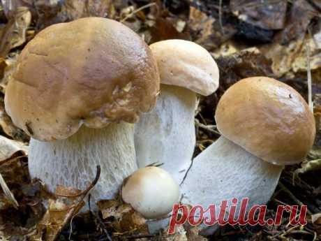 Как отличить ложные грибы двойники от съедобных    Можно ли отличить несъедобный гриб от съедобного? Специалисты считают, что нельзя вывести универсального правила. Единственная гарантия от отравлений — знание признаков отдельных видов, различий ме…