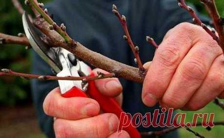 Весенняя обрезка молодых деревьев в своём саду.   Блоги о даче, рецептах, рыбалке