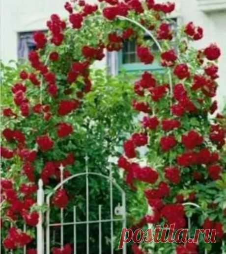 Rosa Trepadora,planta, Diferentes Colores, Enredadera! - $ 430.00 en Mercado Libre