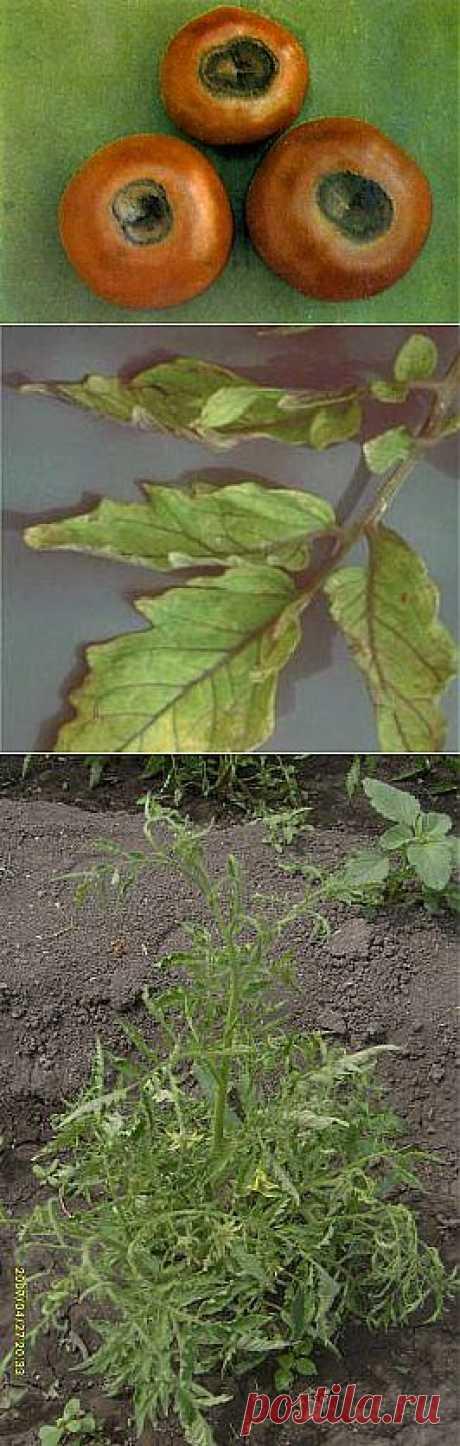 Недостаток элементов питания у томатов (помидор) и причины скручивания листьев   Все про помидоры (томаты) - видео, фото, отзовы