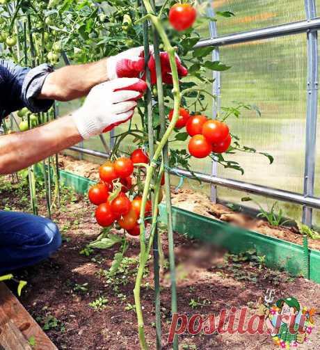 Важная подкормка томатов в августе, которой я пользуюсь, для хорошего созревания помидорок | Весёлый Дачник | Яндекс Дзен
