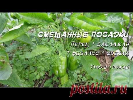 Смешанные посадки 2016: Перец + баклажан + физалис + свекла + лук - YouTube