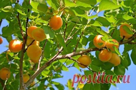 Обрезка абрикоса осенью: схема