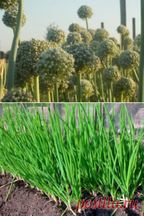 Выращивание семян репчатого лука и лука-севка - Садоводка