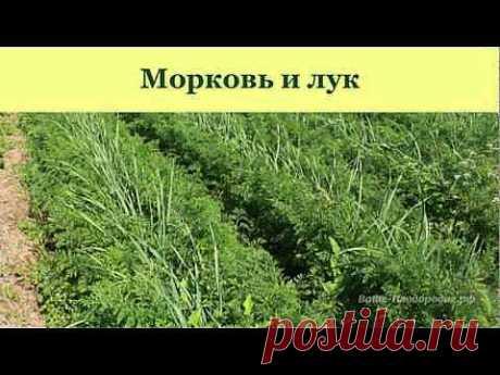 Выращивание моркови, лука, чеснока, сельдерея - YouTube