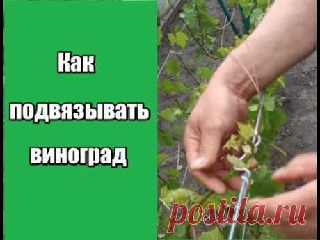 Как подвязывать виноград. Удаление лишних пагонов.