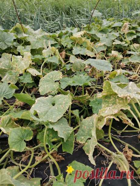 Желтеют листья на огурцах. Как спасти урожай. | Огородник из Рязани | Яндекс Дзен