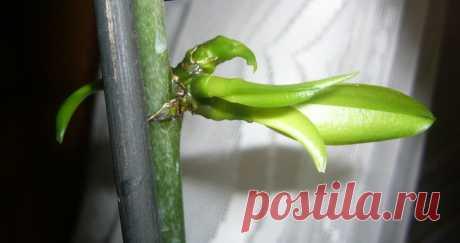 Использую цитокининовую пасту для размножения орхидей и других цветов. Они не перестают цвести и радуют меня каждый день | ДАЧНИК СТРОИТЕЛЬ | Яндекс Дзен