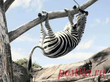 зебра испугалась