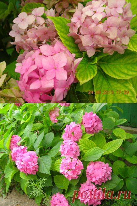 Гортензия - великолепный кустарник! Я из одного куста вырастила четыре. Поделюсь своим опытом! | 6 соток. Светлана Аниканова | Яндекс Дзен #цветы #цветник #гортензия #сад #огород #дача #уход
