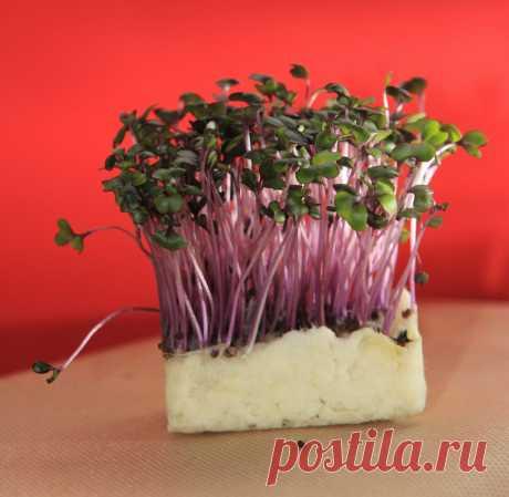 Как легко и быстро вырастить кресс-салат на подоконнике | Самоцветик