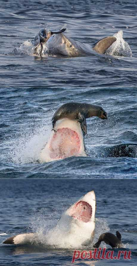 Как морской котик акулу перехитрил. Фото | Уши, лапы, хвост