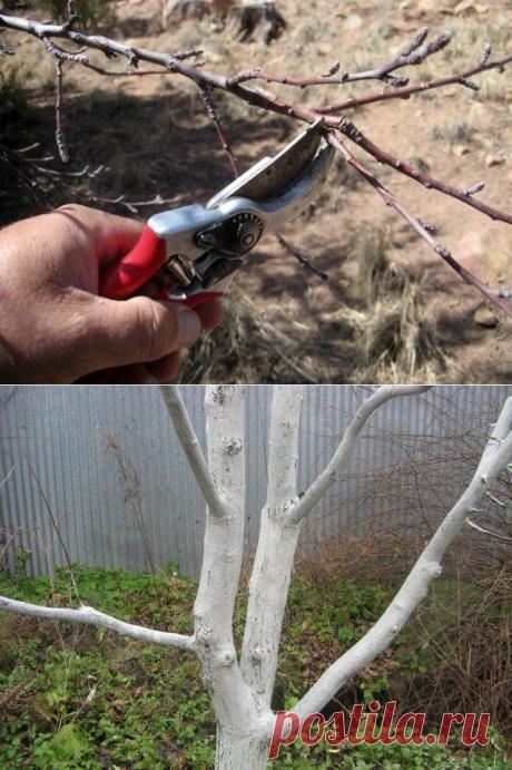 Уход за абрикосом осенью – готовим капризное дерево к холодам
