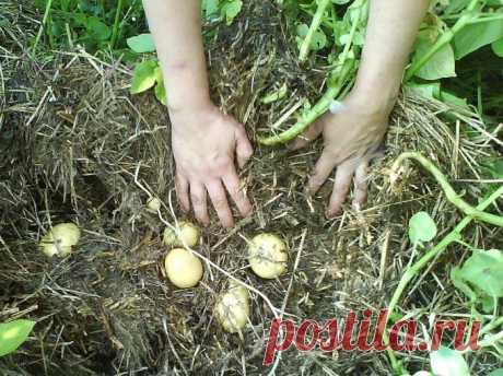 Как вырастить картофель без перекопки грунта :: Сад и огород