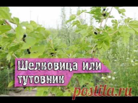 Выращивание шелковицы или тутовника — Яндекс.Видео