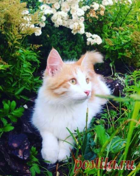 Пушистый котёнок(мама-кошка - метис турецкого вана - купить, продать или отдать в Москве на Avito — Объявления на сайте Avito