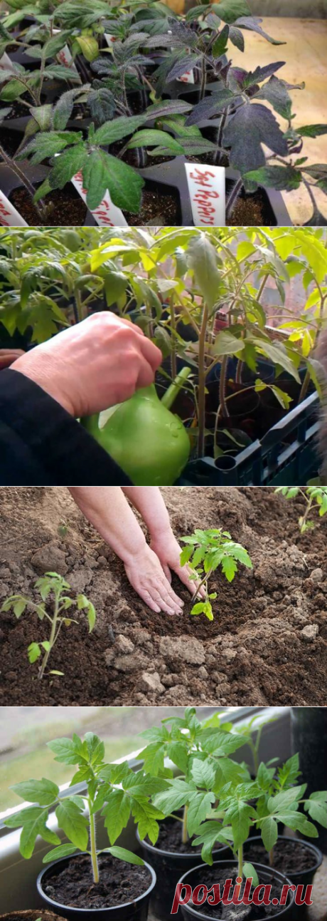Лучшие подкормки для толстенькой рассады помидоров | 6 соток
