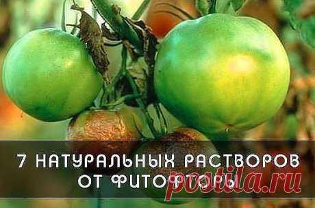 DEL FITOFLÚOR: COMO LIBRAR LOS TOMATES DE LA ENFERMEDAD MALÉVOLA\u000a\u000aLa receta №1 Charlatana\u000a\u000a\u000a— 5 litros del agua;\u000a- 1 cuchara de la sosa;\u000a- 3 cucharas del aceite vegetal;\u000a- 1 cuchara de té del jabón líquido.\u000aUnir todos los ingredientes, agitar y en seguida rociar las plantas del pulverizador o el pulverizador especial.\u000a\u000aLa receta №2 cocción Conífera\u000a- La pinocha (de abeto, de pino) — 1 lata de un litro;\u000a- El agua — 0,5 litros;\u000a- El jabón económico — 30 gramo.\u000aHervir la pinocha durante 5 minutos, enfriar y protsed...