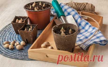 11 самых частых вопросов о посадке луковичных - Садоводка