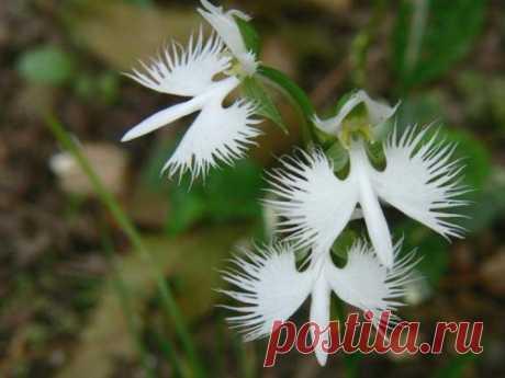 Поводник лучистый.  Это растение с невообразимыми цветками, которые напоминают летящих в небе журавлей. На самом деле это разновидность орхидеи. | Удивительные садовые цветы и растения