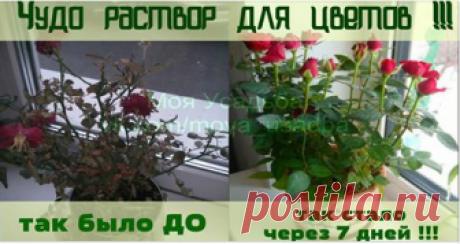 Чудо раствор для цветов! Спасет даже погибающий цветок Не знаете, чем можно подкормить цветок, чтобы он зацвел с новой силой? Этот простой рецепт домашнего удобрения вернет к жизни даже погибающее растение.