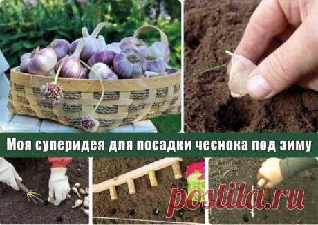Суперидея для посадки чеснока под зиму