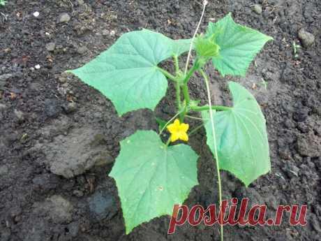 Комплексная подкормка огурцов на грядке во время цветения: 4 рецепта удобрений | Летний досуг | Яндекс Дзен